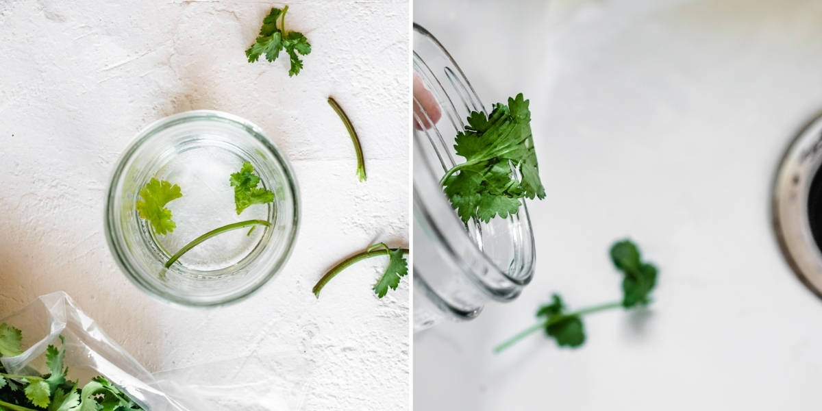 A glass jar of water and yellow cilantro leaves and stem pieces.