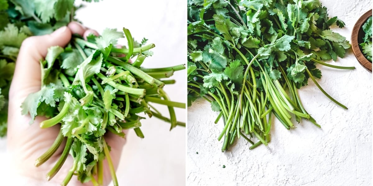 Debris and dead leaves cleaned out of cilantro stems.