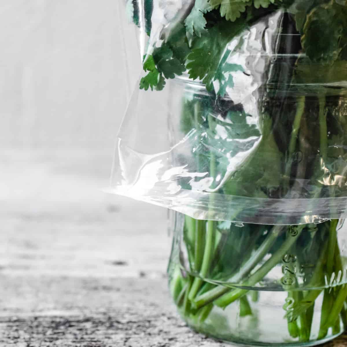 Cilantro stems in a jar with water, covered with a plastic bag.