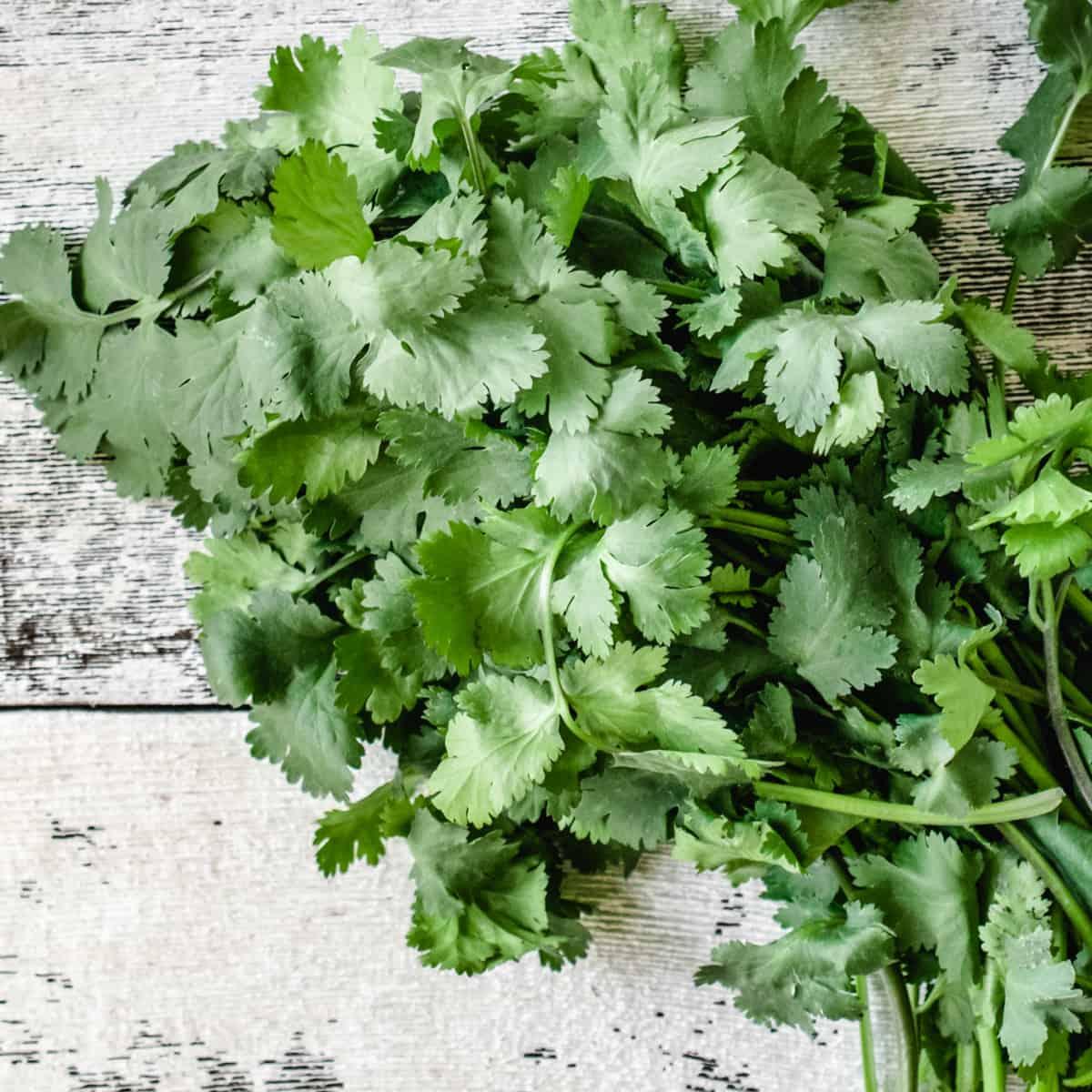 Fresh cilantro bundle on distressed white wooden background.